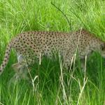 le guépard font partie des espèces dont la protection est d'une urgente nécessité.